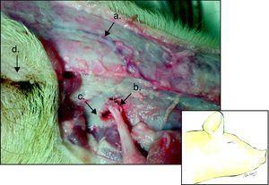 Hemicara derecha de cerdo: a) vena angular ocular, b) arteria y nervio infraorbitario, c) foramen infraorbital, d) globo ocular.