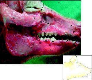 Hemicara derecha de cerdo: a) proceso cigomático temporal, b) tubérculo malar, c) proceso condilar, d) rama mandibular, e) cuerpo mandibular, f) maxila, g) foramen infraorbital, h) hueso incisivo, i) hueso nasal, j) foramen lacrimal, k) dientes molares superiores, l) dientes incisivos superiores, m) dientes molares inferiores, n) diente premolar inferior, ñ) diente canino inferior, o) diente incisivo inferior.