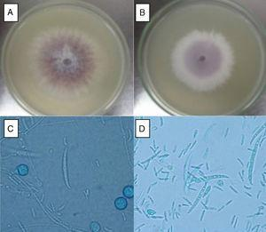 Macroscopic and microscopic aspect of isolates FoSt01 and FoSt02. A. FoSt01, grown on PDA for 7 days at 24°C. B. FoSt02, grown on PDA for 7 days at 24°C. C. FoSt01 grown on CLA for 12 days, 100x. D. FoSt02 grown on CLA for 12 days, 100x.