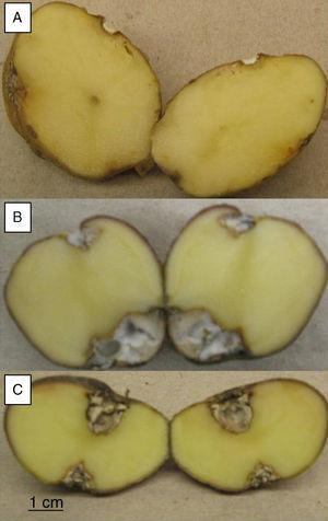 A. Lesion area on complete tubers inoculated with FoSt01 or FoSt02 B. Lesion on tuber inoculated with FoSt01.