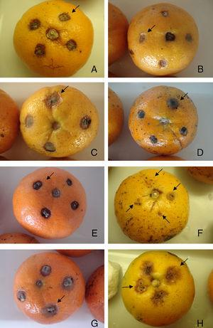 Effects of plant extracts and fungicides on the development of Alternaria brown spots in Murcott tangor fruits eight days after inoculation (106Alternaria alternata conidia/ml): A) Chlorotalonyl and copper oxychloride at 0.87 and 1.76g/l, respectively. B) Azoxistrobin at 0.08g/l. C) Ficus carica. D) Cariniana estrellensis. E) Ruta graveolens. F) Anadenanthera colubrina. G) Artemisia annua extract at 3.3mg/ml. H) 106 conidia/ml resuspended in Tween 80 solution 1.0% (v/v).