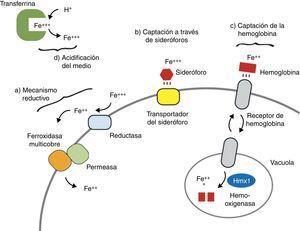 Mecanismos de captación fúngica del hierro. Adaptada y modificada de Chen et al. Cell Host Microbe. 2011;10:118-35.
