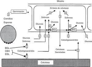 Modelo de inducción de celulasas en Trichoderma reesei. Los números se corresponden con los usados en la explicación en el texto. BGL: β-glucosidasa; CBH: 1,4-β-D-glucano celobiohidrolasa; EGL: endo-1,4-β-D-glucanasa. Traducida de Suto y Tomita64, reproducida con permiso.