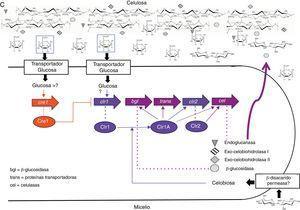 Modelo para la regulación de la expresión de celulasas en: A. Trichoderma reesei, B. Aspergillus niger/nidulans, C. Neurospora crassa.