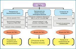Principales efectos inmunomoduladores del factor de necrosis tumoral-α asociados a los mecanismos innatos de inmunidad antifúngica. CPA: células presentadoras de antígenos; EAM: moléculas de adhesión endotelial; IFN-γ: interferón-γ; IL: interleucina; NK: células natural killer; PMN: leucocitos polimorfonucleares; QC: quórum control; TLR: receptores tipo Toll; TNF-α: factor de necrosis tumoral-α; ⇓: disminución; ⇑: incremento.