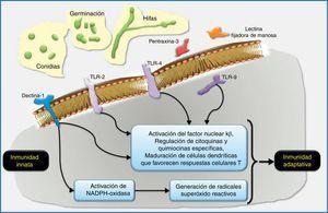 Esquema de la respuesta inmune innata a los géneros de hongos filamentosos inhalados, especialmente Aspergillus. Los macrófagos alveolares y las células epiteliales respiratorias son las primeras células del huésped en el pulmón que interaccionan con las conidias de Aspergillus. Los receptores reconocedores de patrones (RRP) localizados sobre las células huésped, como son la dectina-1 y los Toll-like receptors (TLR, «receptores tipo Toll»), y algunos RRP solubles, como la pentraxina-3 y las lectinas fijadoras de manosa, reconocen dianas fúngicas específicas. Por ejemplo, los β-glucanos de la pared celular fúngica son fijados por el TLR2 y la dectina-1, y el ADN de Aspergillus contiene secuencias CpG no metiladas que son fijadas por el TLR9. El reconocimiento y fijación de los RRP conduce generalmente a la inducción de quimiocinas que activarían y seleccionarían neutrófilos y otras células inflamatorias. La NADPH-oxidasa puede ser activada por la dectina-1 y potencialmente primada por otros RRP como el TLR4. La activación de la NADPH-oxidasa conllevaría la generación de radicales óxido reactivos intermediarios que en los neutrófilos se acoplarían a la activación de proteasas granulocíticas antimicrobianas. Las células dendríticas también reconocerían los patrones característicos de Aspergillus a través de RRP y estimularían respuestas dependientes de antígenos en las células T helpers (Th) y en las células T reguladoras (Treg). El diálogo cruzado entre células dendríticas y células T en la regulación del desarrollo de las células T es un área de investigación intensa muy interesante que es ampliamente relevante en la defensa del huésped, en la alergia y en el desarrollo de vacunas.