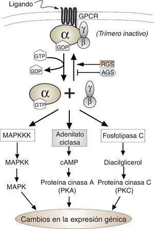 Esquema del ciclo de activación/inactivación de las proteínasG heterotriméricas. Se muestran las tres principales rutas de señalización que pueden acoplar la señal transmitida por estas proteínasG. También se indica el papel de las proteínas RGS y AGS en el ciclo.