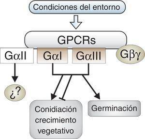 Participación de las subunidades alfa de proteínasG heterotriméricas en los procesos morfogénicos de hongos filamentosos de la división Ascomycota. Las subunidades GαI y GαIII están implicadas en los tres procesos. Su efecto en la germinación es siempre positivo, ya sea si actúan en conjunto o por separado, mientras que en la conidiación y el crecimiento su rol es variable y su efecto resulta de un balance entre ambas subunidades. No se ha demostrado la participación de GαII en estos procesos, por lo que no se sabe con precisión cuál pueda ser su función. Las líneas terminadas en flechas representan un efecto positivo y las terminadas en barra indican un efecto represor.