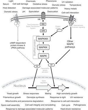 General schematic representation of the signaling mechanism by the MAPK pathways in fungi. All possible sensed signals and cellular responses to these signals are included. Also the Two-Component Signal Transduction (TCS) system, G protein-coupled receptors, receptor tyrosine kinases (RTKs), and the interaction of MAPK with other signaling pathways, e.g. the cAMP-dependent protein kinase A (PKA) pathway are represented. The Scaffold protein is generally present in the MAPK pathway involved in mating. The following abbreviations are used: MAPKKK, MAP kinase kinase kinase; MAPKK, MAP kinase kinase; MAPK, MAP kinase; TF, transcription factors; HK, histidine kinase; RR, response regulator; HPt, histidine-containing phospho-transmitter.