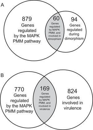 Venn diagram showing the number of genes regulated by the MAPK (PMM) in Ustilago madis dimorphism and virulence. (A) Venn diagram showing 60 genes regulated by the MAPK pathway during the U. maydis dimorphism. (B) Venn diagram showing 169 genes regulated by the MAPK pathway involved the U. maydis pathogenic process.