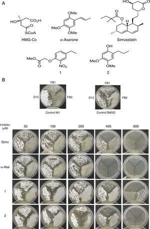 Inhibition of Ustilago maydis growth with Hmgr inhibitors. (A) The chemical structure of the competitive inhibitors utilized herein is compared to the substrate of the HMG-CoA enzyme. (B) Inhibition of U. maydis strains by simvastatin, α-asarone, and compounds 1 and 2. As controls, the growth of U. maydis strains was tested without any treatment (W/I) and with the DMSO solvent only.