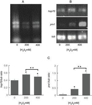 Analysis of prx1 and hsp70 gene expression by RT-PCR. (A) Total RNA of S. schenckii sensu stricto exposed to the indicated concentrations of H2O2. (B) RT-PCR products from the analysis of hsp70, prx1 and tub gene expression in S. schenckii sensu stricto. (C) Densitometry of the bands was measured using the ImageJ 1.51j8 software. The quantification of prx1 and hsp70 was perfomed. Data are presented as the mean±SD, n=3. *Significant differences as compared to control (p<0.05). **Significant differences between concentrations of H2O2 (p<0.05).
