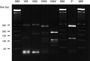 URA5-RFLP patterns obtained after double digestion with the enzymes Sau 96I and Hha I. Several Cryptococcus neoformans strains with different genotypes, as well as the strain isolated from our patient (C. neoformans var. grubii, genotype VNI) were included. MM: 50bp molecular marker (Bionner, USA); VNI: WM 148; VNII: WM 626; VNIII: WM 628; VNIV: WM 629; P: patient.