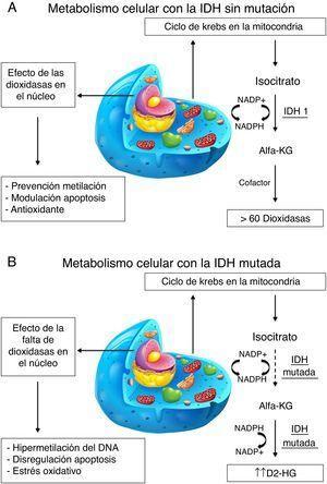 Comparativa entre el metabolismo celular con la IDH sin mutación A) y con mutación B). A) La isocitrato-deshidrogenasa 1 (IDH1), cataboliza la decarboxilación oxidativa del isocitrato en alfa-ketoglurato (aKG) reduciendo la NADP+ en NADPH. La aKG participa como cofactor con más de 60 dioxidasas que modulan apoptosis, previenen la metilación y son antioxidantes entre otras funciones. B) La mutación de la IDH1 disminuye significativamente su actividad, disminuyendo por tanto la conversión de isocitrato en aKG y a su vez produce D2-hidroxiglutarato (D2-HG). Disminuye la actividad de los cofactores y por tanto hay hipermetilación del DNA, disregulación de la apoptosis y estrés oxidativo aumentando la propensión a nuevas mutaciones.
