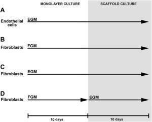 Esquema del estudio. Las células endoteliales cultivadas en EGM durante 10 días se sembraron en estructuras de gelatina y se cultivaron en EGM durante otros 10 días (A). Los fibroblastos dérmicos humanos y los fibroblastos de clonas de células individuales cultivados en FGM durante 10 días se sembraron en estructuras de gelatina y cultivaron en FGM durante otros 10 días (B). Los fibroblastos dérmicos humanos se indujeron a diferenciarse en un tipo de célula similar a la endotelial cultivando las células en EGM durante 10 días antes de sembrarlas en estructuras de gelatina. Las células se cultivaron en EGM en las estructuras durante otros 10 días (C). Los fibroblastos dérmicos humanos se cultivaron en FGM durante 10 días y después se sembraron en las estructuras de gelatina, y se indujo la diferenciación hacia un tipo de célula similar a la endotelial con un cambio del medio de cultivo FGM por EGM (D). 10 days: 10 días; EGM: medio de cultivo de células endoteliales; Endothelial cells: célula endoteliales; FGM: medio de crecimiento de fibroblastos; Fibroblasts: fibroblastos; MONOLAYER CULTURE: cultivo en monocapa; SCAFFOLD CULTURE: cultivo en estructuras.