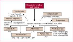 Nuevas acciones biológicas de la insulina. Adaptado de Dandona et al. Circulation. 2005; 111:1448–54.