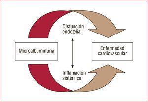 La microalbuminuria contribuye a la enfermedad cardiovascular a través de la disfunción endotelial y la inflamación sistémica, a su vez íntimamente relacionadas entre sí.