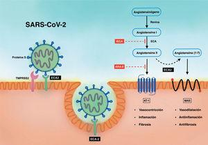 Relacion entre el SARS-CoV-2 y el SRAA. ARA-II: antagonistas del receptor de la angiotensina II; AT-1: receptor tipo 1 de la angiotensina II; ECA: enzima de conversión de la angiotensina I; ECA2: enzima de conversión de la angiotensina II; IECA: inhibidores de la ECA; MAS: receptor acoplado a proteína G; SARS-CoV-2: coronavirus 2 del síndro-me respiratorio agudo grave; SRAA: sistema renina-angiotensina-aldosterona; TMPRSS2: proteasa transmembrana de serina 2 asociada con la superficie del huésped.
