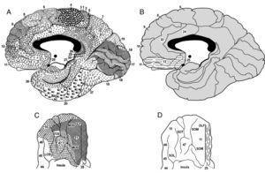 A. Vista sagital medial del hemisferio derecho. La parte frontal está a la izquierda y la parte occipital a la derecha; en negro, el cuerpo calloso. B. Visión sagital medial del hemisferio derecho en la que se han numerado las áreas de Brodmann que se citan en el texto. Las líneas corresponden a los límites de las áreas. En rayado discontinuo se encuentran las BA 11,12 y 25 que se consideran parte de la CPFvm. La corteza cingulada anterior forma parte del BA 24. C. Vista basal del hemisferio derecho: OLF, surco olfativo, MOS, surco orbital medio, TOS, surco orbital transversal, LOS, surco orbital lateral. D. Vista basal del lóbulo frontal del hemisferio derecho en la que se muestra parte de la CPFvm en rayado discontinuo. El resto de la base del lóbulo frontal está constituido por las circunvoluciones orbitales u orbitarias: OLF, surco olfativo, SOM, surco orbital medio, SOT, surco orbital transversal, SOL, surco orbital lateral.