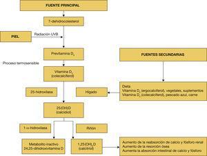 Metabolismo de la vitamina D.