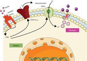 Regulación de la secreción de glucagón por parte de insulina a nivel de la célula α pancreática. La insulina al unirse a su receptor activa la vía de la fosfatidilinositol-3-quinasa (PI3K) provocando la apertura de los canales de potasio dependientes de ATP (KATP), y el reclutamiento de los canales de cloro (Cl−) activados por el receptor de ácido gamma-aminobutírico (GABA), los cuales en conjunto provocan hiperpolarización de la membrana e inhiben la liberación de glucagón.