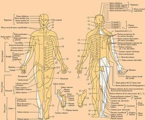 Distribución metamérica de la sensibilidad: dermatomas.