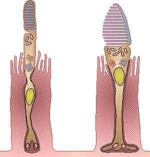 Componentes de la visión cromática: bastón y cono (gentileza de: http://ocularis.es/blog/).
