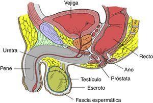 Relaciones anatómicas del tracto urogenital masculino.
