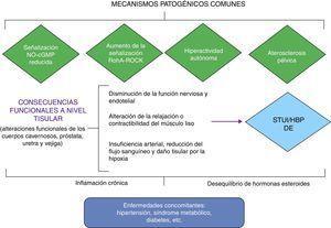 Relación fisiopatológica entre los STUI/HBP y DE. Adaptada de Gacci et al.18