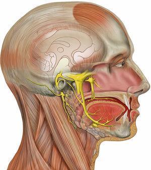 Nervio trigémino, vista lateral derecha. Fuente: Wikipedia1.