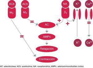 Control simpático y parasimpático de la fase de llenado y lugar de acción de los tratamientos farmacológicos orales para el tratamiento de la VH.