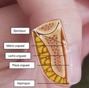 Anatomía del aparato ungueal.