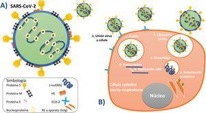 A)Principales estructuras que conforman al virus SARS-CoV-2. B)Serie de procesos por los cuales el virus entra en la célula, la contagia y posteriormente utiliza sus organelos para replicarse y liberar más viriones. Fuente: Elaboración propia de los autores de acuerdo con su conceptualización según la información recabada5,13-17.