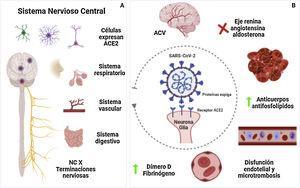 Principales mecanismos de ACV en pacientes con COVID-19. A) Vía de entrada al SNC incluyendo células nerviosas ubicadas en diferentes partes del organismo, en el cerebro las zonas relacionadas son la corteza motora, cíngulo posterior, sustancia negra, ventrículos, giro temporal medial, bulbo olfatorio, médula ventrolateral, núcleo tracto solitario, núcleo dorsal motor. B) Diferentes mecanismos protrombóticos, proinflamatorios que llevan a la lesión vascular del ACV. Figura realizada en biorender.com. ACV=ataque cerebrovascular; NC=nervio craneal; SNC=sistema nervioso central.