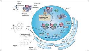 Activación del AhR. El receptor en su forma inactiva (sin un ligando unido) se localiza en el citoplasma celular formando un complejo con un dímero de la proteína de choque térmico 90 (Hsp90), una proteína de choque térmico con un peso de 23 KDa (P23) y una proteína de interacción con el AhR parecida a la inmunofilina (AIP), también conocida como XAP2, y una cinasa de tirosina (c-src). Una vez unido su ligando, el complejo AhR se transloca al núcleo y forma un heterodímero con la proteina ARNT. Este heterodímero es capaz de unirse a los XRE (GCGTGA) y reclutar coactivadores y así favorecer la transcripción de sus genes blanco como el CYP1A1. Este citocromo metabolizará al b[a]p en intermediarios que pueden interactuar con el ADN para formar aductos iniciando así un proceso carcinogénico. Modificado de Murray et al.50.