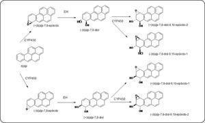 Vía metabólica mediante la cual el b[a]p se bioactiva a b[a]pDE, metabolitos altamente reactivos. Modificado de Shimada64.