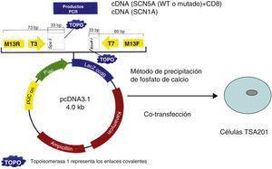 Representación esquemática de la cotransfección del plásmido con el gen SCN5A (WT o mutado) y el marcador CD8+ en las células TSA201 mediante el método de precipitación por calcio.