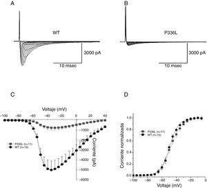 Efectos de la mutación P336L sobre la activación de la INa+. Se muestran los registros de la corriente de sodio para WT (panel A) y la mutación P336L (panel B) en la célula transfectada TSA201. Los registros se obtuvieron a partir de un potencial de prueba entre −100 y 0mV en incrementos de +5mV a partir de un potencial de mantenimiento de −120mV. Panel C: se muestra la relación corriente-voltaje para los canales WT (n=11) y P336L (n=15), mostrando una reducción en la corriente de sodio P336L. Panel D: gráfica que muestra la relación de la activación en el estado estacionario para WT y P336L. Panel C: la conductabilidad fue determinada usando la relación de la corriente con respecto al potencial electromotriz para cada célula. Los datos fueron normalizados y graficados al potencial de prueba. Modificada con permiso de Cordeiro et al.3.