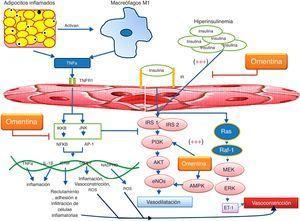 Disfunción endotelial asociada a inflamación y a resistencia a la insulina. Los adipocitos inflamados secretan TNFα, y conllevan la activación de macrófagos M1, los cuales a su vez provocan más inflamación en los adipocitos. La inflamación local se convierte en inflamación sistémica, en la que los productos de inflamación ejercen activación y subsecuente disfunción del endotelio. Mediante la unión de TNFα a TNFR1 se activan vías de señalización celular que convergen en genes proinflamatorios, aumentando quimioatracción, adhesión, síntesis de ROS y daño en el endotelio. Esto conduce a la inhibición y disminución en la síntesis de NO. Por otro lado, la hiperinsulinemia favorece la disfunción endotelial, debido a la constante síntesis de ET-1. La omentina disminuye estos mecanismos mediante la activación de IP3K/AKT y de AMPK, e inhibe a JNK y NF-κB lo que condiciona una menor expresión de ICAM-1, así como de COX-2 e interleucinas proinflamatorias, condicionando una actividad antiinflamatoria. La omentina también tiene efectos de reparación y angiogénesis mediante VEGF (no mostrado en la figura).