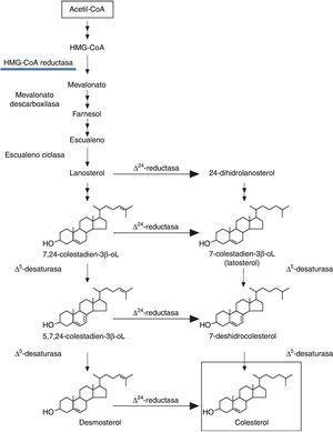 Cadena que se inicia con acetil-CoA en la síntesis del colesterol endógeno.