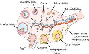 Schematic representation of the ovarian structure. Adapted from http://faculty.southwest.tn.edu/rburkett/A&P2_reproductive_system_lab.htm.19