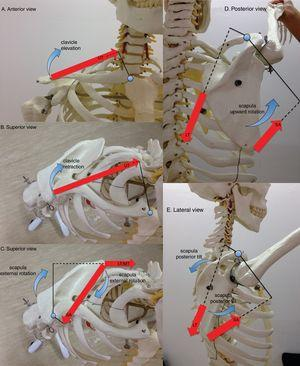 Lines of action of selected scapulothoracic muscles are depicted by red large straight arrows (UT: upper trapezius, MT: middle trapezius, LT: lower trapezius, SA: serratus anterior). The muscles are shown contributing to clavicular elevation (A), clavicular retraction (B), scapular external rotation (C), scapular upward rotation (D), and scapular posterior tilt (E) during shoulder flexion. Internal moment arms for muscles are shown as a solid line from the axis of rotation to the line of action of each muscle. Dashed lines indicate a right-angle intersection between muscle's line of action and its moment arm. Note two axes of rotation: the sternoclavicular axis, located near the manubrium, and the acromioclavicular axis, located near the acromion.