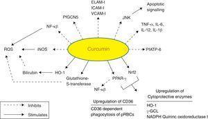 Molecular targets of curcumin in cerebral malaria.