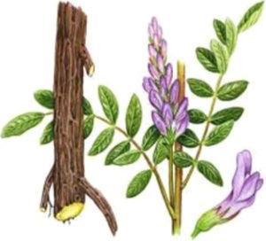 Photograph of Glycyrrhiza glabra herb.