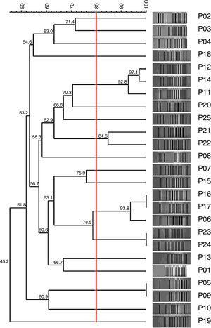 Dendrogram showing the genotypic profile of Carb-R/Ceph-S P. aeruginosa clinical isolates determined by the PFGE technique.