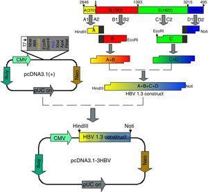 Construction of the pcDNA3.1-1.3HBV recombinant plasmid.