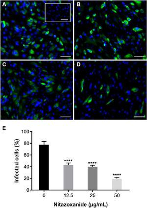Antiviral effect of Nitazoxanide on a primary chorionic cell culture determined by immunofluorescence. The cultures were infected or not (inset A) with ZIKV at a MOI of 20 and subsequently treated or not (A) with (B) 12.5 μg/mL, (C) 25 μg/mL or (D) 50 μg/mL of the drug for 48 h. The fluorescence staining shows the viral antigen (green) and the host cell nucleus (blue). (E) The graph represents the means ± standard deviations of the percentage of infected cells. Statistical significance was determined by one-way ANOVA, followed by Dunnett's multiple-comparisons test. ****p < 0.0001. The data are representative of 3-5 experiments run in duplicate. Bars 100 µm.
