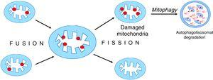 Mitochondrial fusion and disintegration. Damaged elements present in different organelles are gathered as a result of fusion into one mitochondrion. Asymmetric decay leads to the formation of functional organelles and mitochondria in which all damages are accumulated. These dysfunctional mitochondria are removed by autophagy.