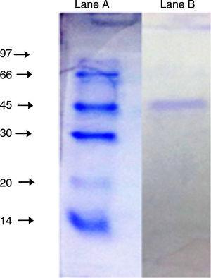 SDS-PAGE (10%) of the purified lipase from Acinetobacter sp. AU07. Lane A: Molecular mass marker proteins: phosphorylase β (97kDa), albumin (66kDa), ovalbumin (45kDa), carbonic anhydrase (30kDa), trypsin inhibitor (20kDa) and α-lactalbumin (14kDa). Lane B: Purified lipase (10μg) after ion-exchange chromatography showing single band.