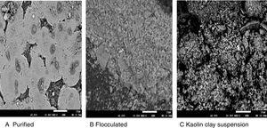 Scanning electron micrograph of (A) purified bioflocculant, (B) purified bioflocculant flocculating kaolin suspension, (C) Kaolin powder suspension.